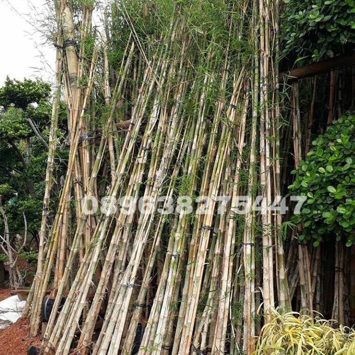 Jual Tanaman Bambu Jepang Bambu Pagar Bambu Hias Kab Bogor Rony Cahaya Taman Tokopedia