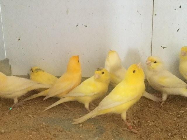 Jual Burung Kenari Kuning Betina Jakarta Selatan Alfian Syahrudin Tokopedia