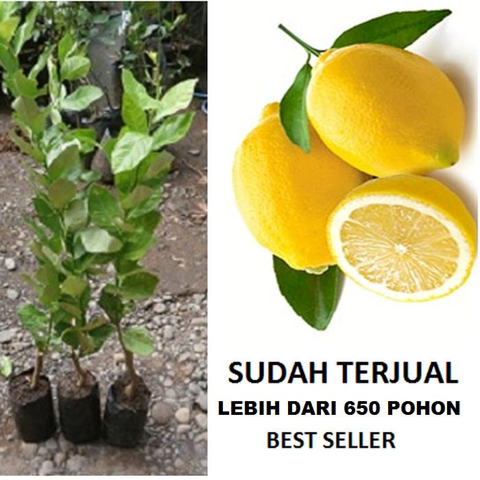 Foto Produk Bibit Jeruk Lemon Tea Citrus Limon dari ORIGINAL FLORA