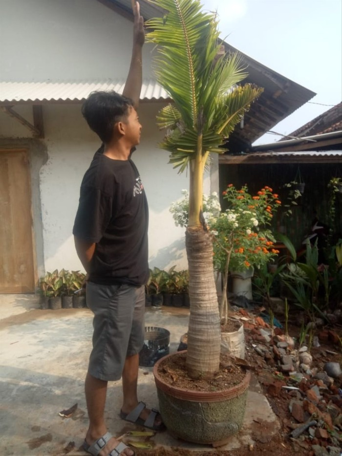 Jual Bonsai Kelapa Gambar Asli Bonggol Besar Kota Bandar Lampung