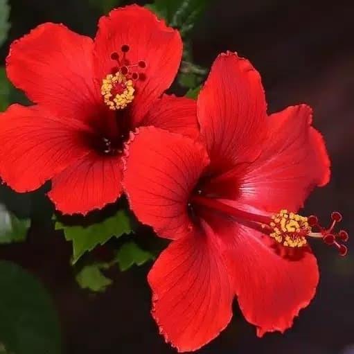 Jual Tanaman Hias Bunga Kembang Sepatu Bibit Tanaman Bunga Sepatu Kab Bogor Plants Shop Tokopedia