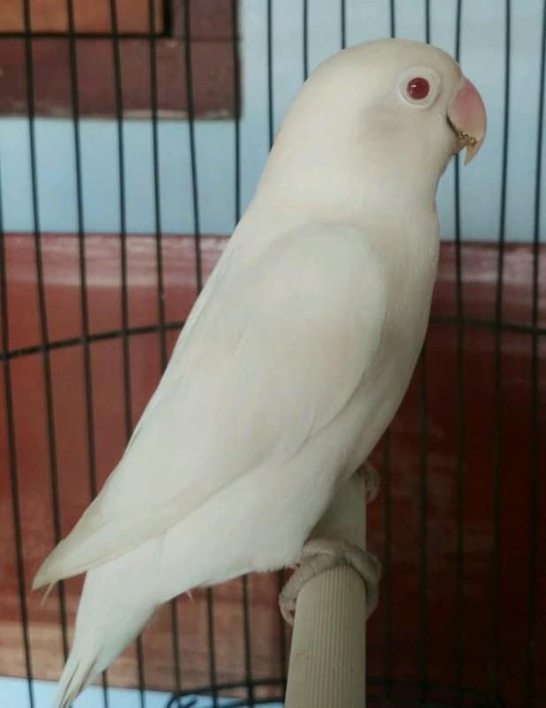 Jual Burung Lovebird Albino Mata Merah Garansi Gacor Jakarta Selatan Burung Love Bird Kenari Tokopedia