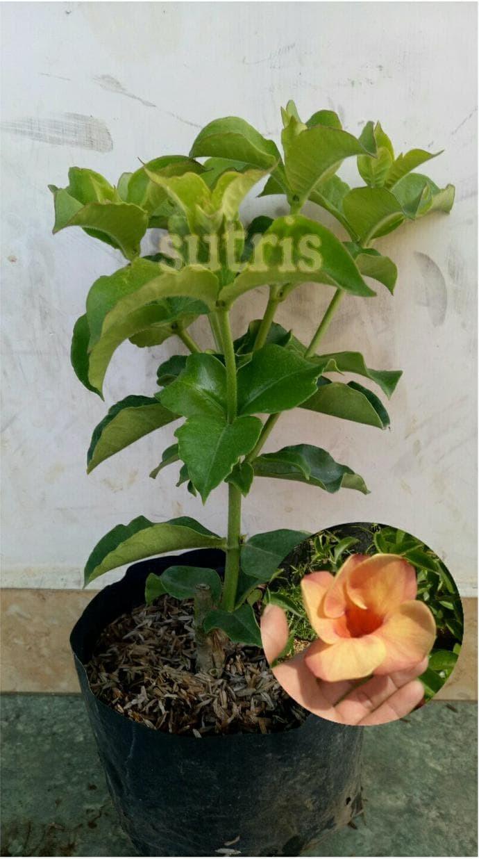 Jual Bibit Tanaman Hias Bunga Alamanda Coklat Berkualitas Kota Malang Harristore