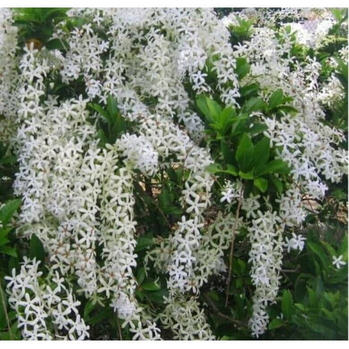 Jual Bibit Tanaman Hias Bunga Tanaman Hias Patrea Putih Kota Surabaya Tamanku Id Tokopedia