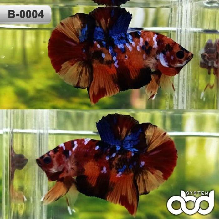 Jual Ikan Cupang Nemo Galaxy B 0004 Kab Cianjur Adreenaline Betta Distribution Tokopedia