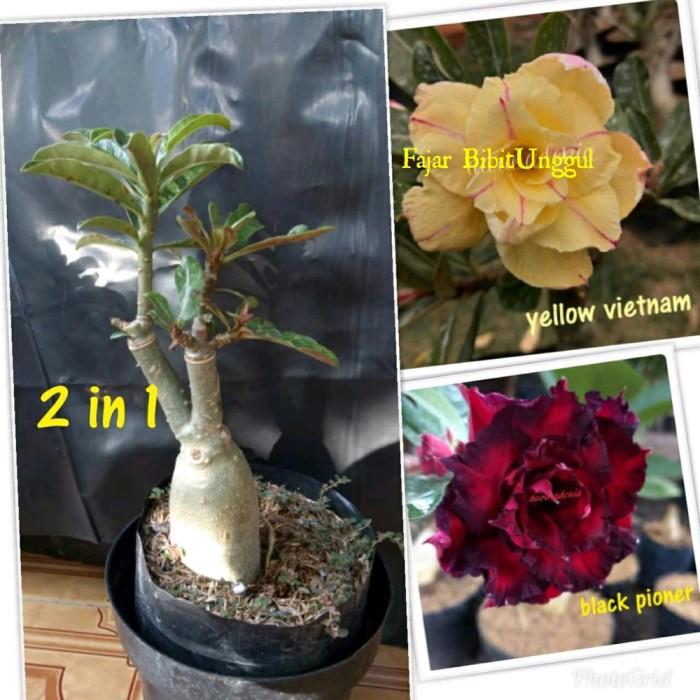 Jual Bibit Bunga Kamboja Adenium 1 Pohon 2 Warna Merah Dan Kuning Kab Lampung Tengah Aditya011 Tokopedia