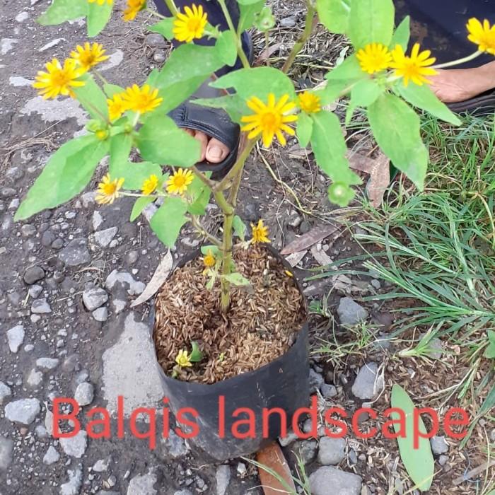 Jual Tanaman Bunga Matahari Pohon Bunga Matahari Mini Kab Bogor Balqis Landscape Tokopedia