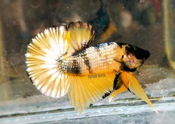 Jual Hiasan Aquarium Ikan Cupang Plakat Yellow Fancy Copper Kota Surabaya Zaha1 Tokopedia