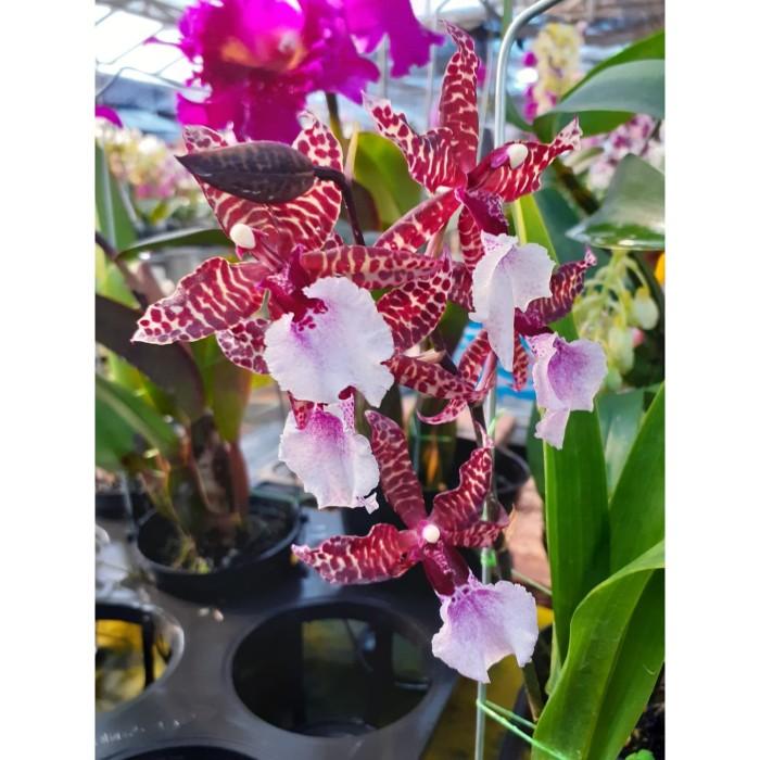 Jual Colmanara Masai White Kota Depok Sandi Orchid Garden Tokopedia