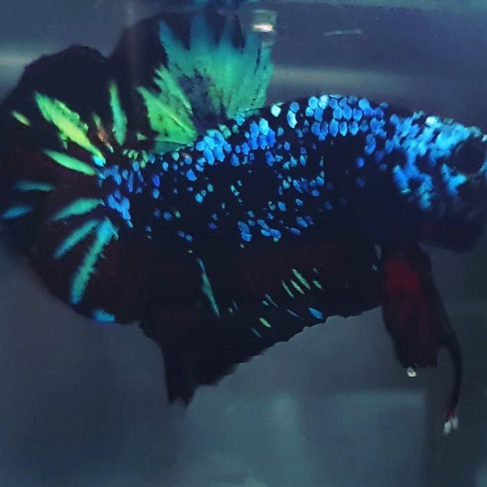 Jual Ikan Cupang Avatar Gordon T O P Grade Kota Banjarmasin Fakhriebetta Tokopedia