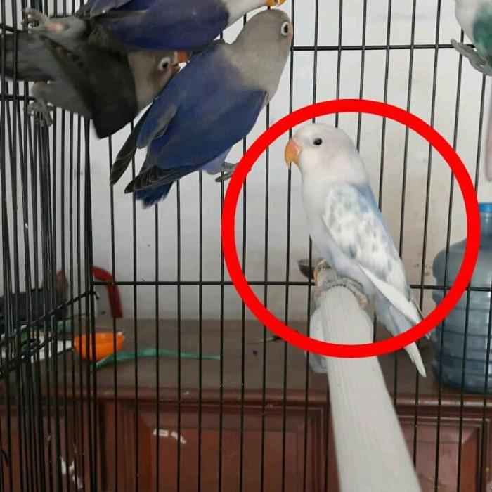 Jual Lovebird Bs Blorok Kota Bekasi Kios Burung Jeje Tokopedia