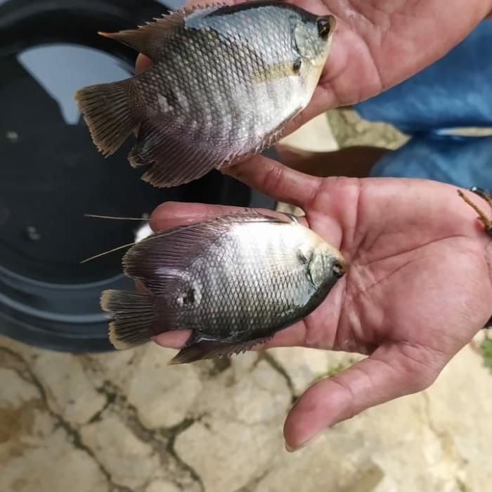 Jual Jual Berbagai Jenis Ikan Air Tawar Kab Magelang Berkah Fhis Tokopedia