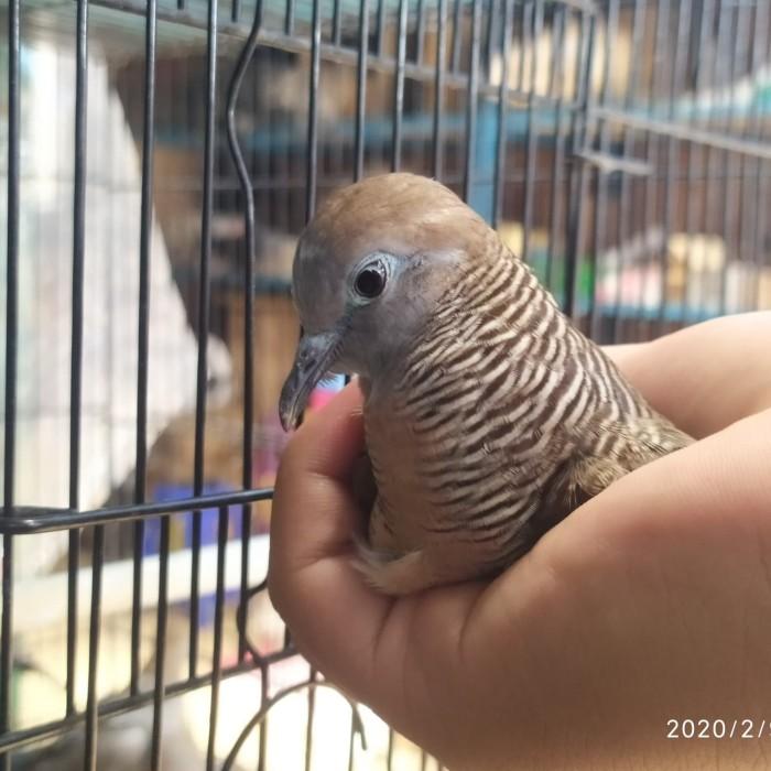 Jual Burung Perkutut Kab Bogor Wahyusaranapancingbogor Tokopedia