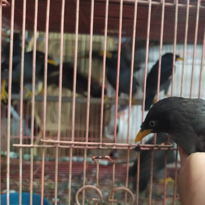 Jual Burung Jalak Kebo Kab Bogor Wahyusaranapancingbogor Tokopedia