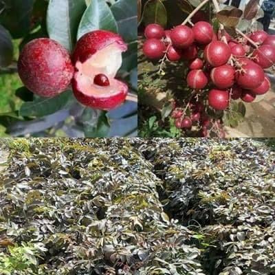 Foto Produk Bibit kelengkeng merah ruby longan unik dan langka dari Distributor Bibit Online