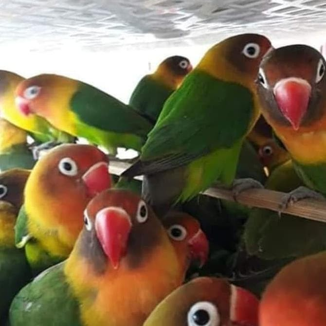 Jual Diskon Terlaris Burung Lovebird Josan Rawatan Bisa Dikirim Indonesia Jakarta Utara Ibrarahi Store Tokopedia