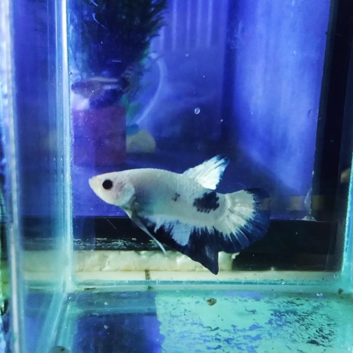 Jual ikan Cupang Blue rim - Kota Cilegon - Agam sejahtera ...