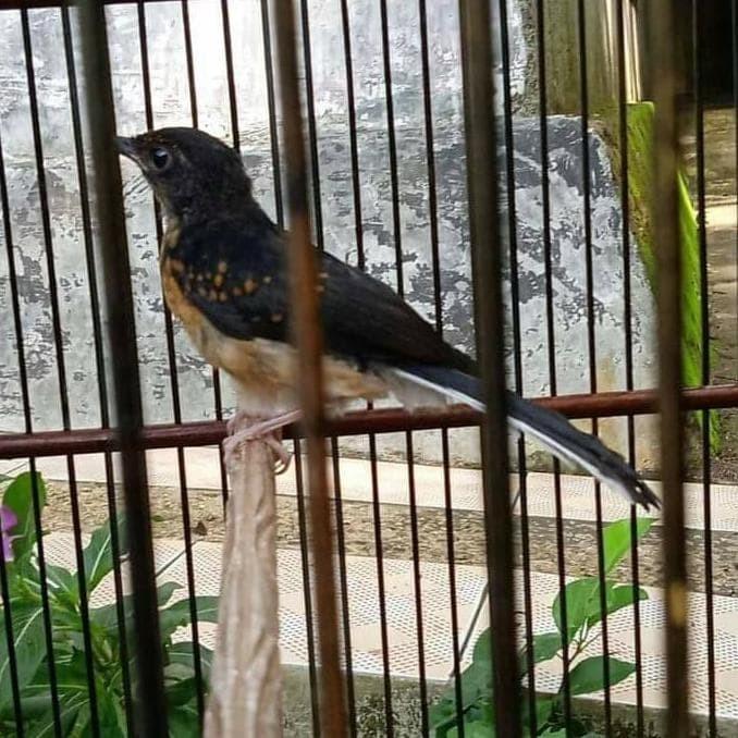 Jual Promo Burung Murai Batu Trotol Medan Best Quality Jakarta Barat Talita Store1 Tokopedia