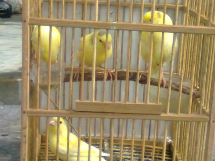 Jual Kenari Loper Kuning Jakarta Selatan Burung Love Bird Kenari Tokopedia