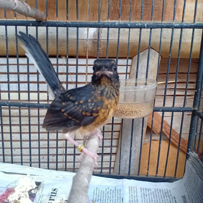 Jual Burung Murai Trotol Murai Anakan Muray Burung Murai Batu Medan Kab Bogor The Harmoni Tokopedia