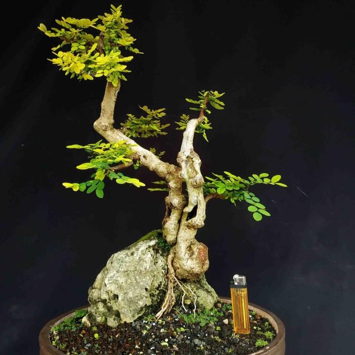 Jual Bonsai Pohon Ileng Ileng Mangsi Mangsian On The Rock Di Atas Batu Unik Kab Sukoharjo Tosan Aji Sakti Tokopedia