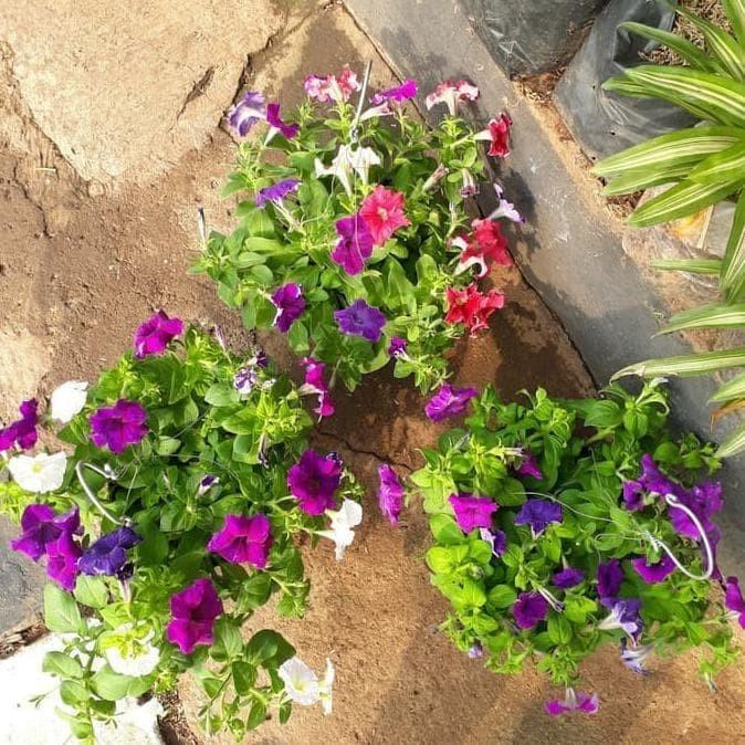 Jual Paket Hemat 3 Tanaman Bunga Cantik Tanaman Hias Pitunia Jakarta Barat Viana22 Tokopedia