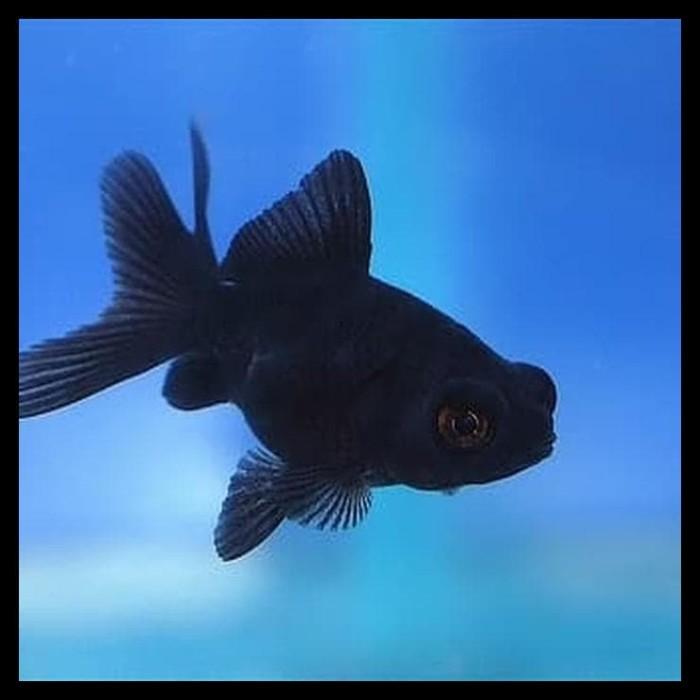 Jual Terlaris Ikan Hias Mas Koki Buldog Full Black Aquarium Aquascape Jakarta Barat Aufreystore Tokopedia