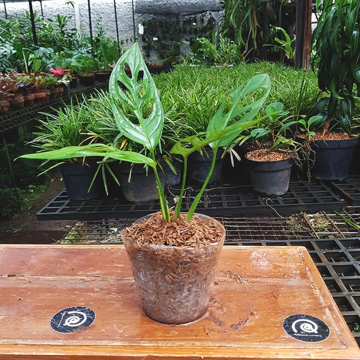 Jual Monstera obliqua - Tanaman hias / indoor plant