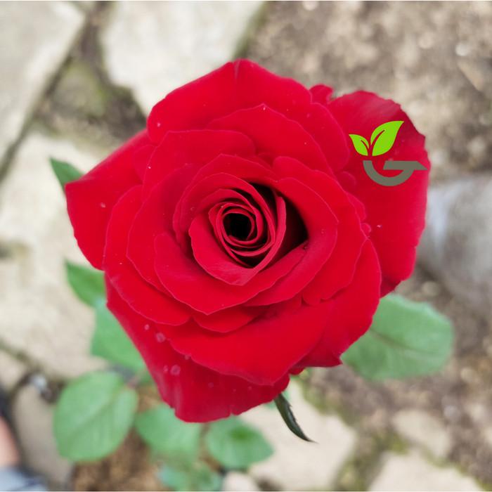Jual Bibit Tanaman Bunga Mawar Merah Tanpa Duri Harga Grosir Kota Batu Green Life Gardens Tokopedia