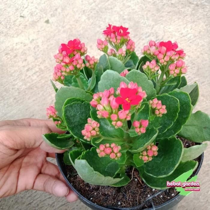 Jual Tanaman Cocor Bebek Bunga Merah Kalanchoe Blosfelldiana Red Kab Bandung Barat Hebat Garden Tokopedia