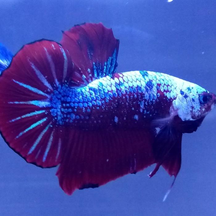 Jual Hiasan Aquarium Ikan Cupang Hias Jenis Red Koi Galaxi Big Tail Jakarta Barat Bursa Ikan Cupang Tokopedia