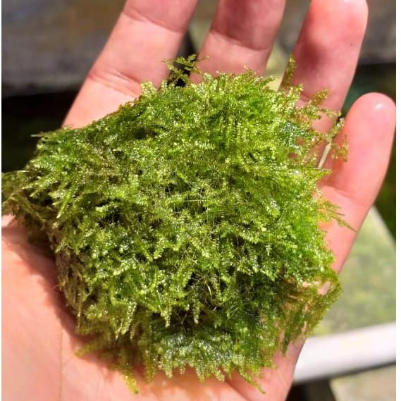Jual Moss Mini Christmas Wabikusa Xmast - Tanaman ...