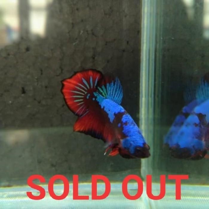 Jual Ikan Cupang Avatar 1 Fair 02 Jakarta Utara Zophin Shop Tokopedia