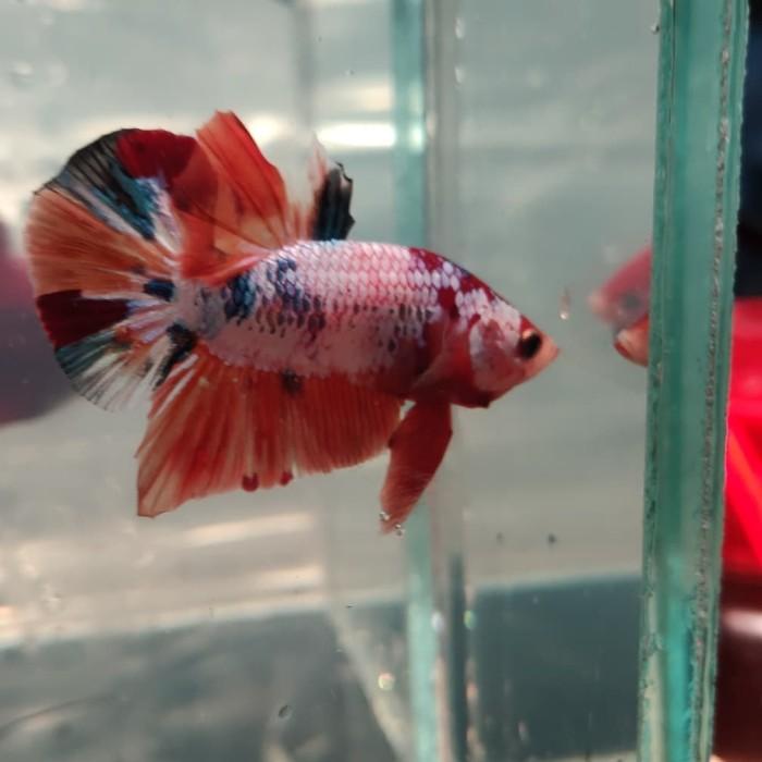 Jual Ikan Cupang Nemo Galaxy Multicolor 01 Jakarta Timur Banibian Betta Tokopedia