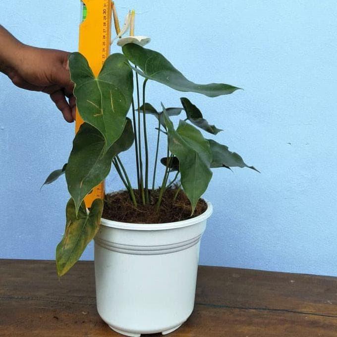 Jual Tanaman Hias Anthurium Bunga Putih Anthurium Sierra White Top Sale Jakarta Barat Toko Tamim Tokopedia