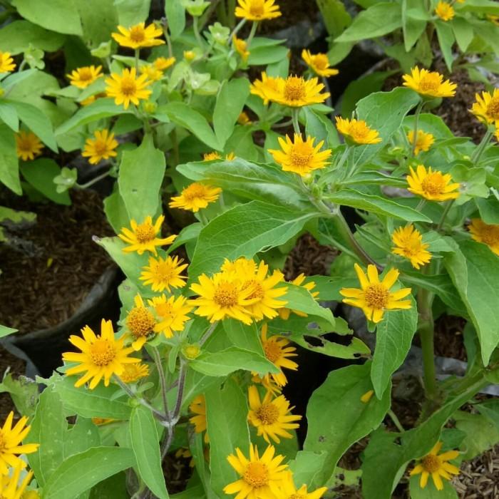 Jual Tanaman Hias Nelanpoli Bunga Matahari Mini Jakarta Barat Mflk Flora Tokopedia