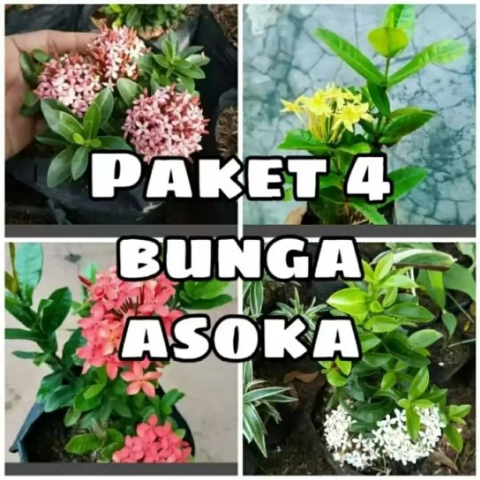 Jual Paket 4 Jenis Tanaman Hias Bunga Asoka Kab Bogor Tunas Mandiri Landscape Tokopedia