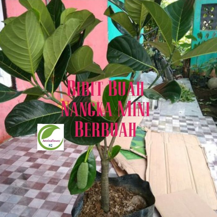 Jual Bibit Tanaman Nangka Mini Pohon Buah Nangka Mini Berbuah Tabulampot Kab Bogor Annisaflower82 Tokopedia