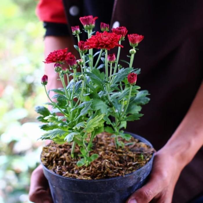 Jual Bunga Aster Tanaman Aster Tanaman Hias Aster Bunga Hias Bibit Kab Bandung Barat Verbaputranegara Tokopedia