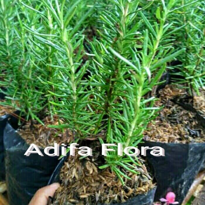 Foto Produk pohon anti nyamuk rosmery dari sanggar adifa flora