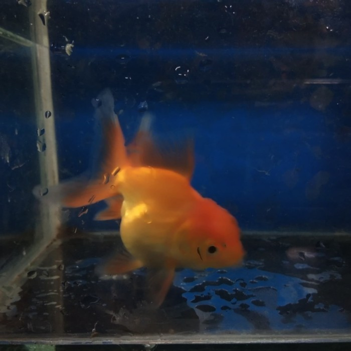 Jual Ikan Mas Koki Merah Jambul Ikan Hias Aquarium Aquascape Jakarta Selatan Zriee Tokopedia