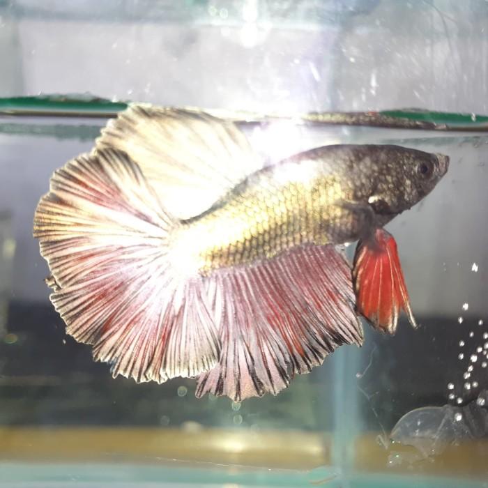 Jual Ikan Cupang Slayer Jantan Kota Bekasi Betta Fish Ahlan Tokopedia