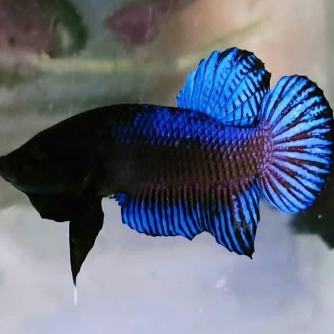 Jual Hiasan Aquarium Betta Fish Murah Cupang Aduan Ikan Cupang Bagan Kab Bogor Asvian Betta Fish Tokopedia