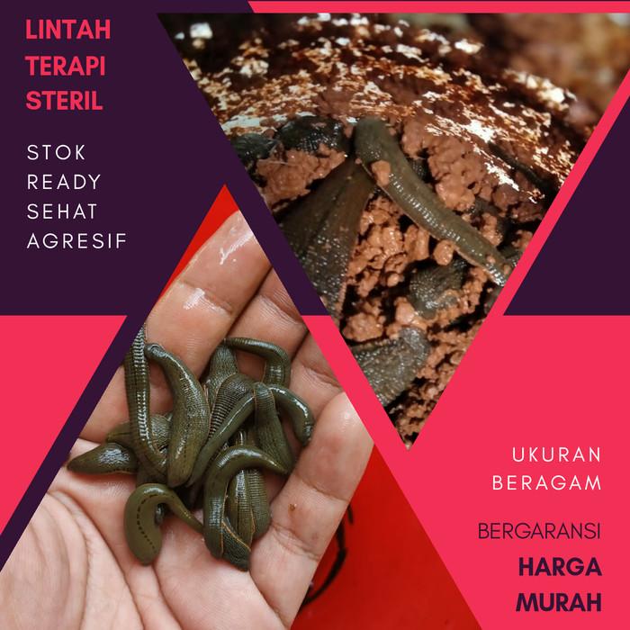 Foto Produk lintah hidup steril untuk klinik terapi lintah harga murah dari Sosis Juara