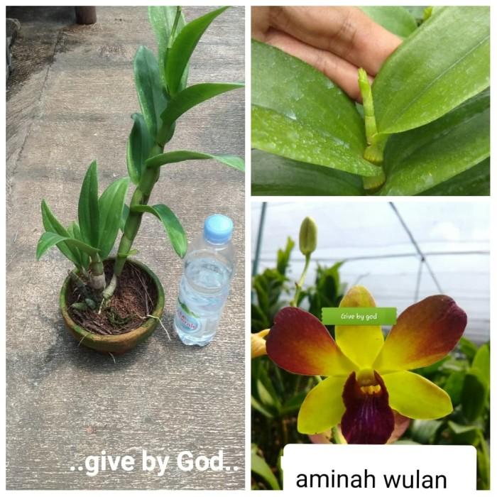 Foto Produk tanaman anggrek dendrobium dewasa/orchid dari Pims Corner