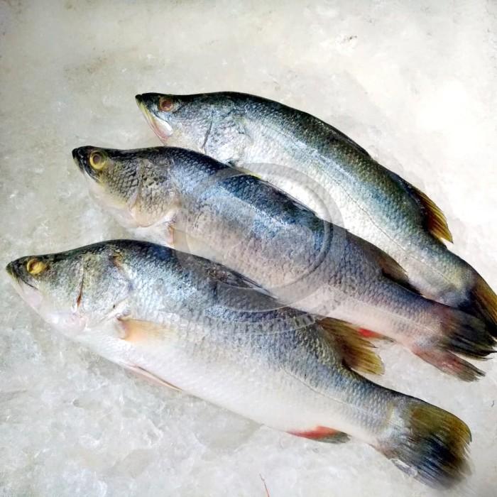 Jual Jual Ikan Kakap Putih Segar Per Kg Jakarta Utara Pelelangan Ikan Shop Tokopedia