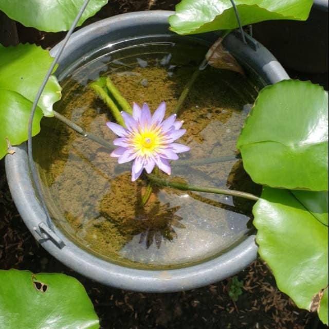 Jual Tanaman hias air teratai mini bunga biru sudah dewasa