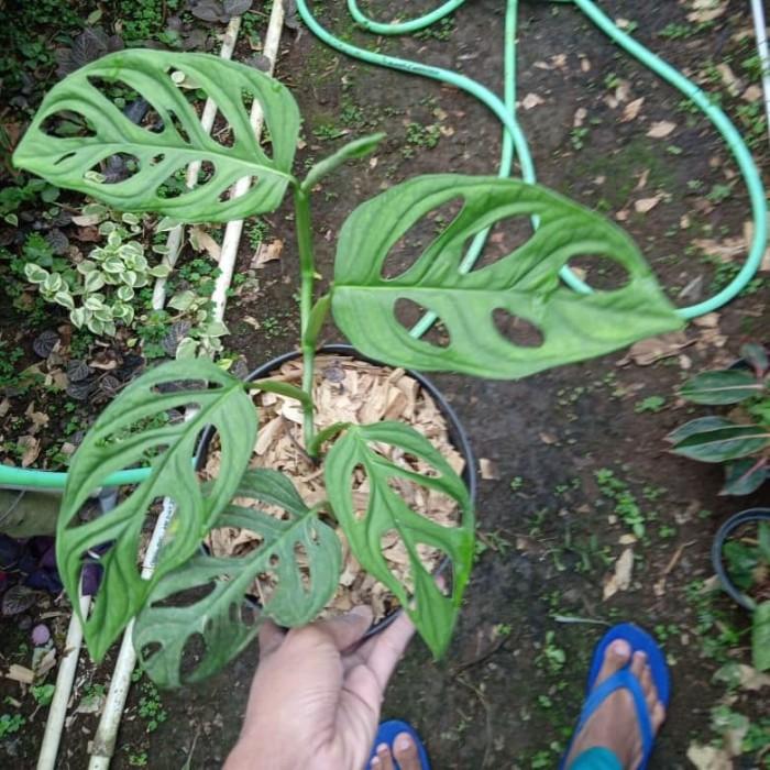 Jual Tanaman hias monstera janda bolong tanaman Hias - Kab