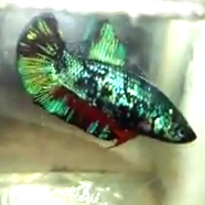 Jual Ikan Cupang Avatar Female 26 Kab Labuhanbatu Tb Baringin Rantauprapat Tokopedia