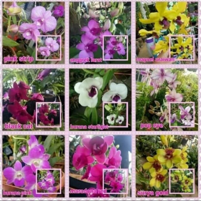 Jual Pohon Bunga Anggrek Warna Bunga Random Tanaman Hias Pohon Anggrek Kab Bogor Icha Florist Tokopedia